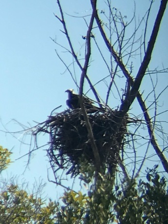 Punta Blanca-Mother Eagle sitting over the nest